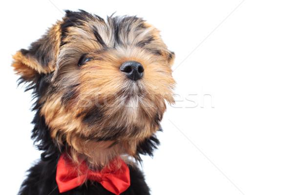 Foto stock: Primer · plano · pequeño · cachorro · perros · cabeza · cuello
