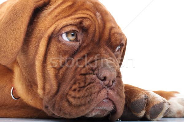 французский дог голову глядя Сток-фото © feedough