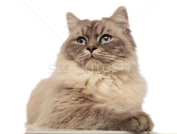 Kíváncsi szürke macska széles kék szemek külső Stock fotó © feedough