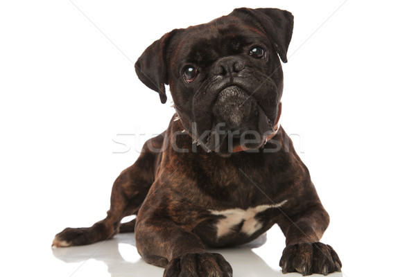 cute black boxer with brown leather spiked collar lying Stock photo © feedough