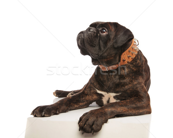 curious boxer with brown spiked collar looks up to side Stock photo © feedough