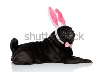 side view of lying french bulldog with pink ribbon  Stock photo © feedough