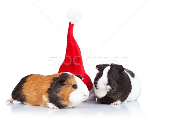 Stok fotoğraf: Gine · domuzlar · Noel · şapka · iki · sevimli