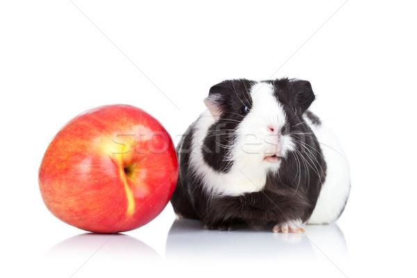 черный морская свинка красное яблоко белый глаза яблоко Сток-фото © feedough