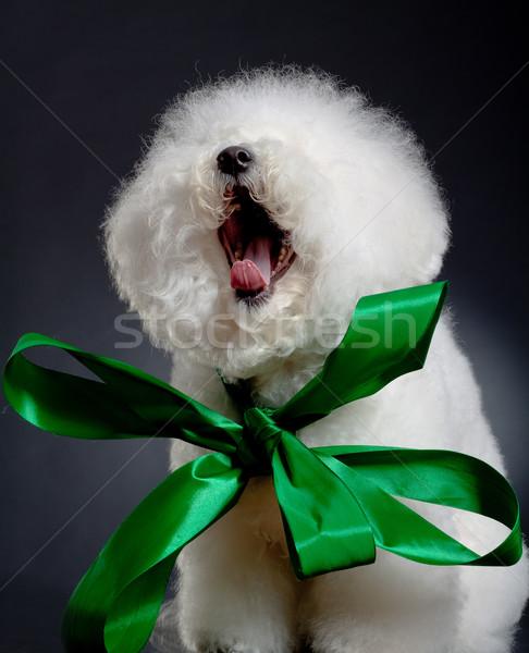 yawning bichon frise Stock photo © feedough