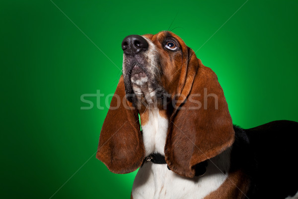 big basset hound dog looking up Stock photo © feedough