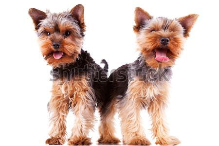 Iki yorkshire köpek yavrusu köpekler atlama Stok fotoğraf © feedough
