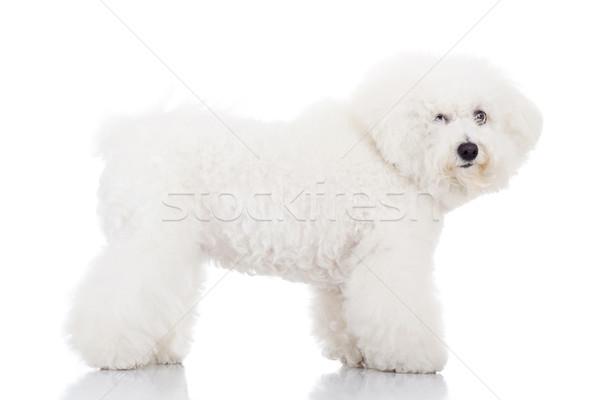 beautiful bichon frise puppy dog standing  Stock photo © feedough