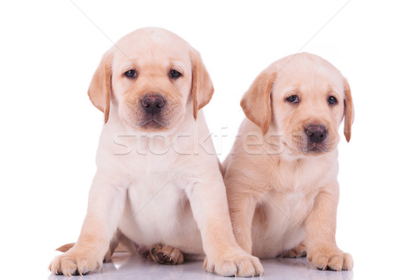Stockfoto: Twee · cute · labrador · retriever · puppy · honden · vergadering