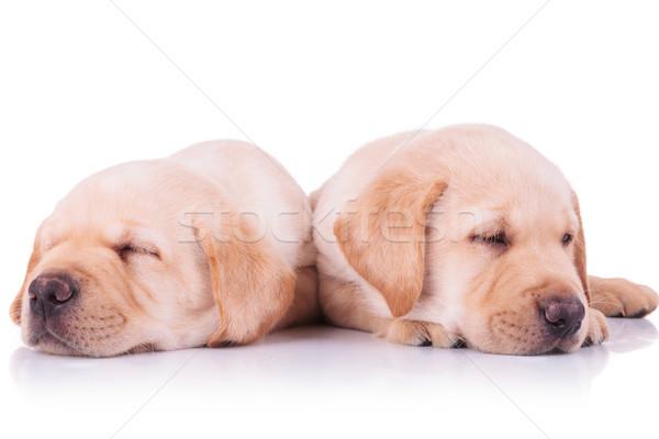 Stockfoto: Twee · aanbiddelijk · labrador · retriever · puppy · honden · slapen