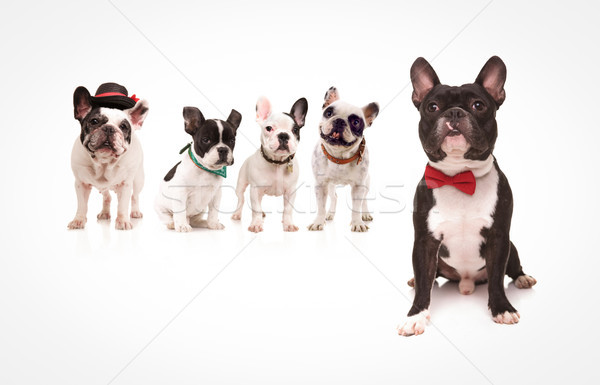 seated french bulldog wearing red bowtie in front of dogs Stock photo © feedough