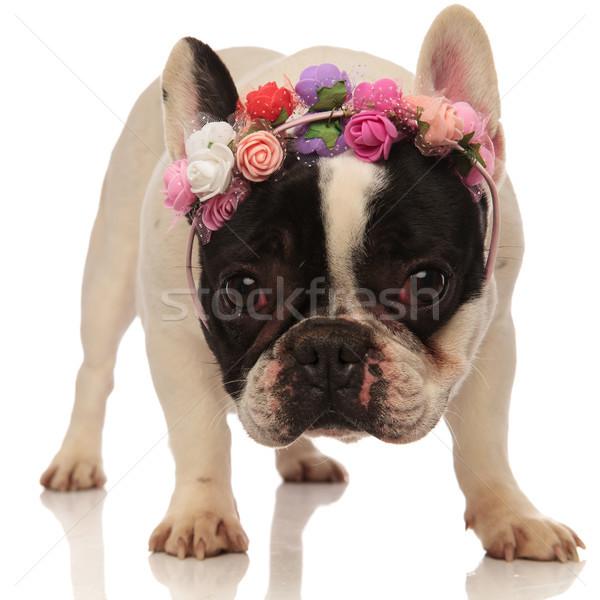 Cute frans bulldog bloem kroon Stockfoto © feedough