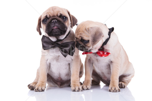 two little sad adorable pug puppies with bowties Stock photo © feedough