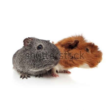 curious guinea pig couple looking to side Stock photo © feedough