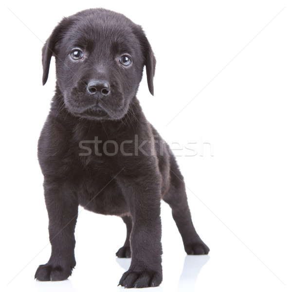 alert labrador retriever puppy  Stock photo © feedough