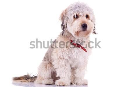Bearded Collie  Stock photo © feedough