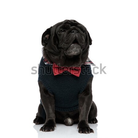 side view of a french buldog's head wearing bow tie Stock photo © feedough