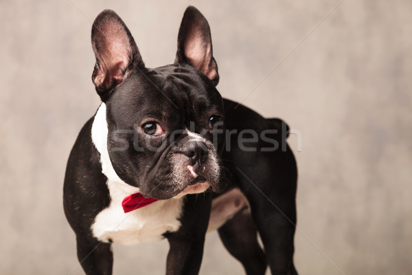 curious french bulldog puppy wearing a red bowtie Stock photo © feedough