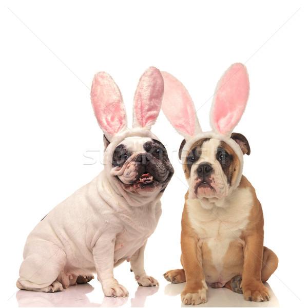 Francese english bulldog cani indossare coniglio Foto d'archivio © feedough