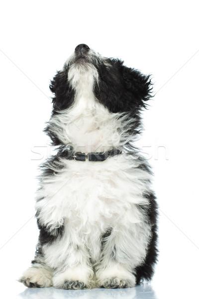 çok güzel oturma köpek yavrusu yukarı havanese Stok fotoğraf © feedough