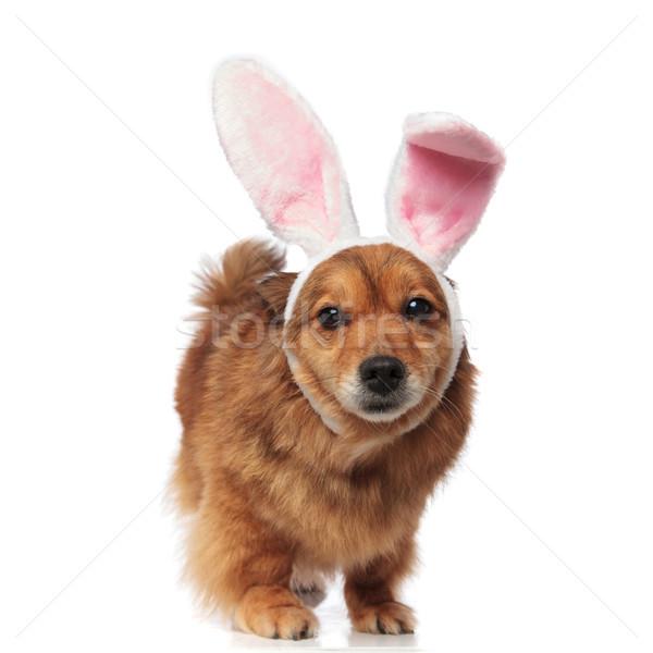 Húsvét barna kutya nyuszi fülek külső Stock fotó © feedough