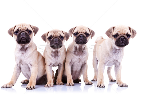 four mops puppy dogs Stock photo © feedough