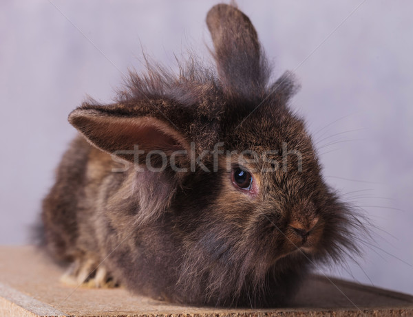 furry lion head rabbit bunny looking at the camera  Stock photo © feedough