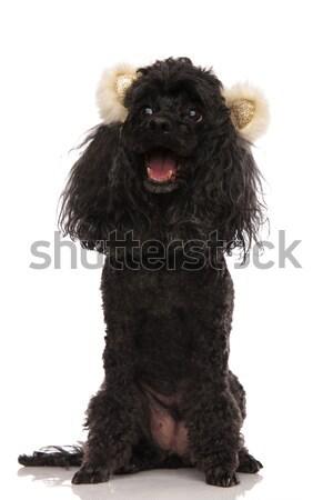 Sevimli meraklı siyah kaniş beyaz köpek Stok fotoğraf © feedough