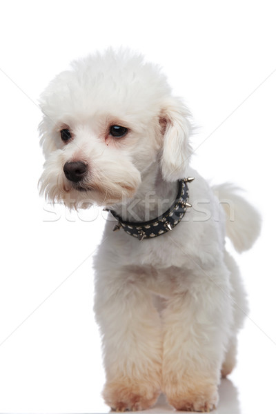 curious white bichon looking to side while standing Stock photo © feedough