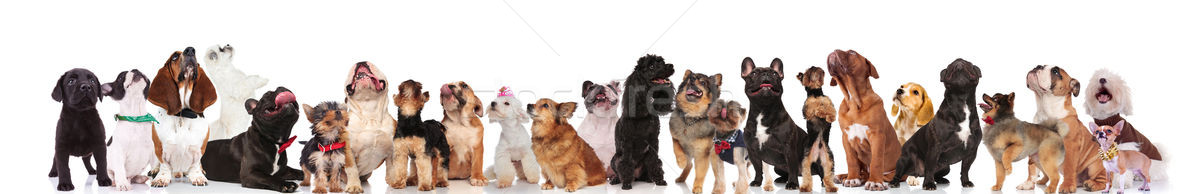 cute dogs with bowties and collars look up Stock photo © feedough
