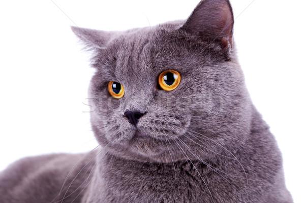 ストックフォト: 頭 · かわいい · ビッグ · 英語 · 猫 · 白