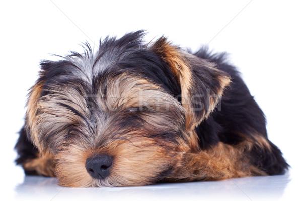 спальный Йоркшир щенков изолированный белый любви Сток-фото © feedough