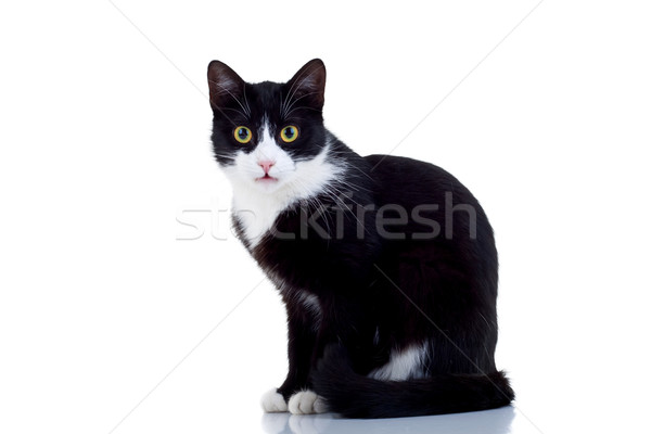 black and white male cat Stock photo © feedough