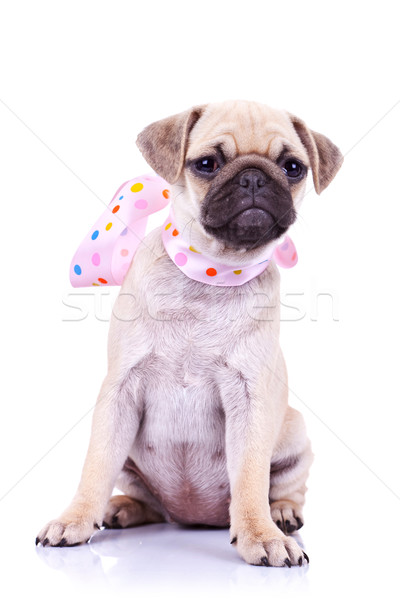 pug puppy dog with a pink scarf Stock photo © feedough