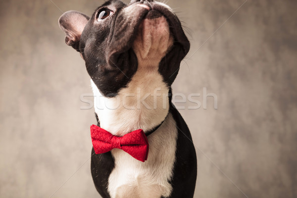 french bulldog wearing a red bowtie looking up Stock photo © feedough