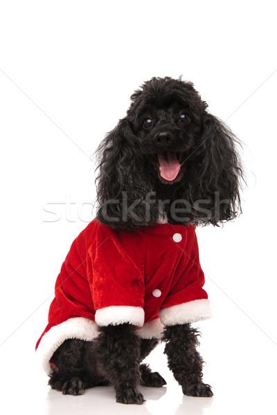 Neşeli küçük kaniş köpek yavrusu kırmızı Stok fotoğraf © feedough