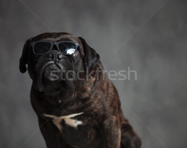 Gengszter néz aranyos boxoló kutya ül Stock fotó © feedough