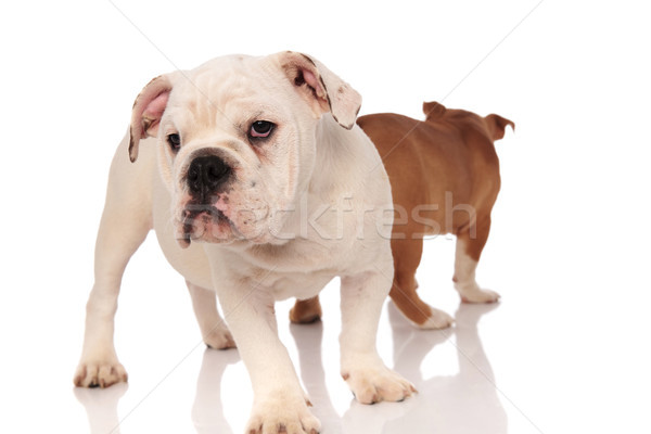 one curious english bulldog puppy and the other  walking away  Stock photo © feedough