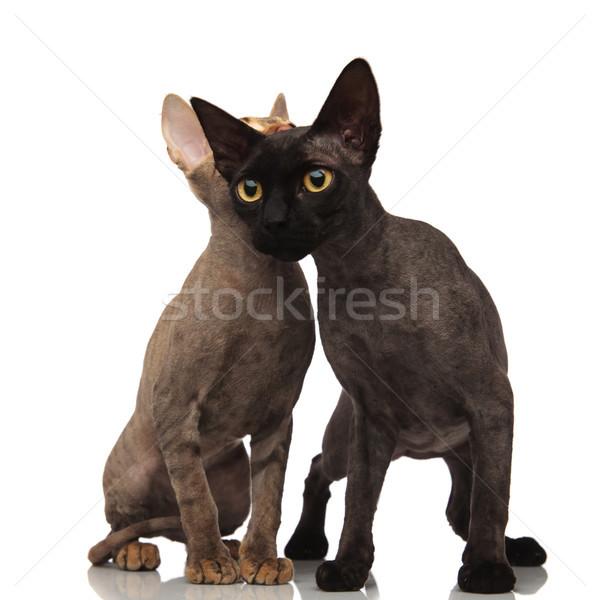 黒猫 ブラウン 猫 頭 ボディ 白 ストックフォト © feedough