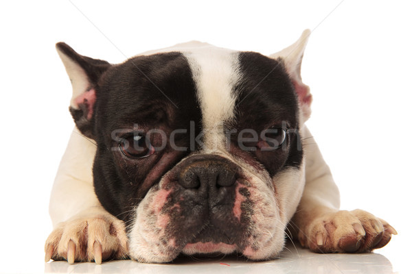 close up of a cute tired french bulldog Stock photo © feedough