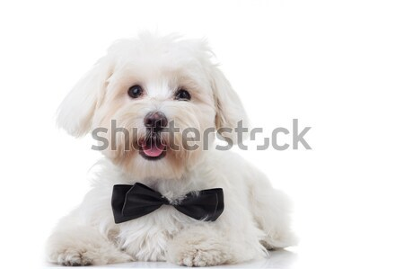 close up of gentleman white bichon looking to side Stock photo © feedough