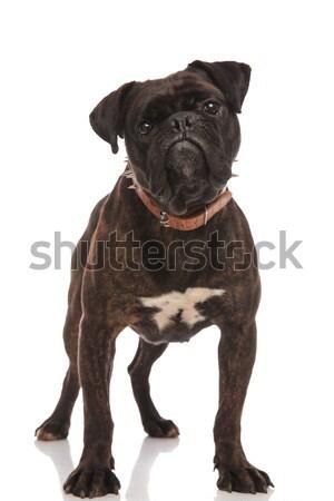 Kíváncsi fekete boxoló visel barna áll Stock fotó © feedough