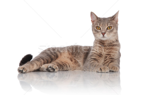 side view of cute metis cat resting while lying Stock photo © feedough