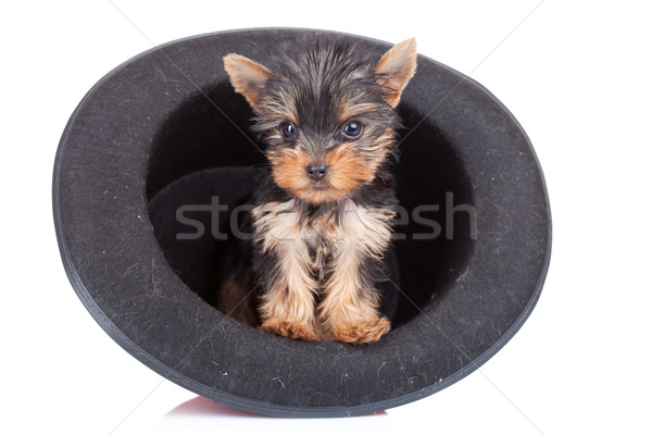 yorkie in a hat Stock photo © feedough