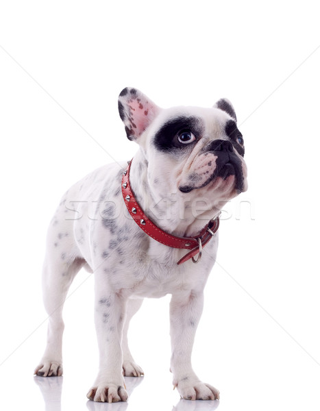 curious french bulldog Stock photo © feedough