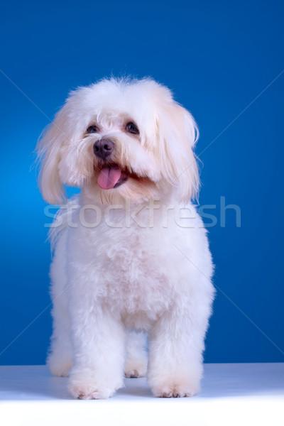 maltese dog standing  Stock photo © feedough