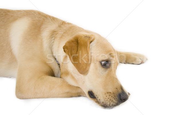 álmos kutyakölyök labrador retriever krém fehér háttér Stock fotó © feedough