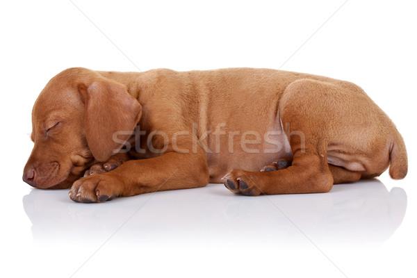 cute vizsla puppy sleeping Stock photo © feedough