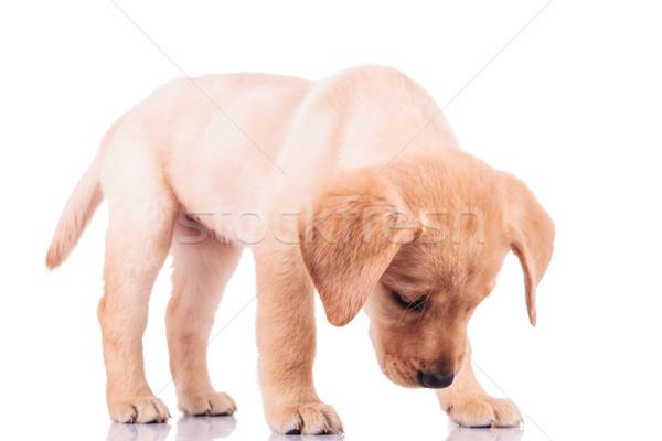 Küçük labrador retriever köpek yavrusu köpek bir şey ayakta Stok fotoğraf © feedough