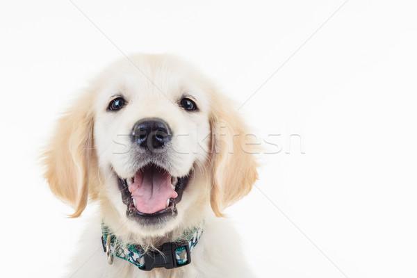 happy panting golden labrador retriever puppy dog Stock photo © feedough